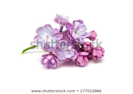 весны сирень цветы синий деревенский декоративный Сток-фото © Lana_M