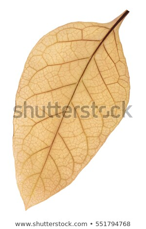 Dried tobacco (Nicotiana tabacum) leaf, path Stock photo © maxsol7