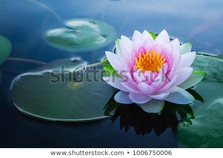 Tavacska közelkép virág levél zöld tó Stock fotó © boggy