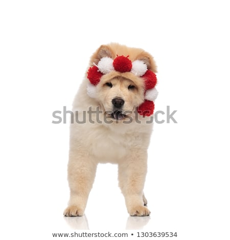 adorable chow chow wearing red and white headband with balls Stock photo © feedough