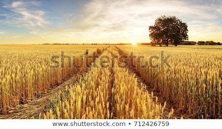 未熟 · 麦畑 · 垂直 · 美しい · 青空 · 農業 - ストックフォト © simazoran