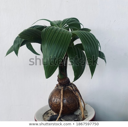 little tree called bonsai with green leaves stock photo © carenas1