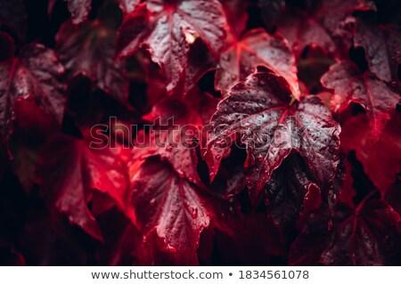 Najaar klimop gekleurd blad Stockfoto © devon