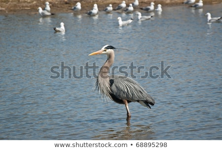 Great Blue Heron in the Suburbs Stock photo © brianguest