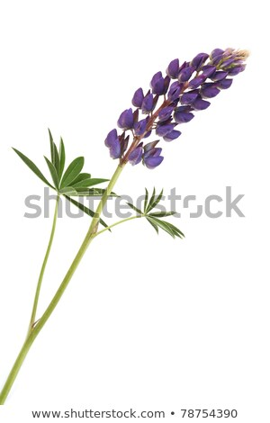 Closeup Of Purple Lupines With Long Stem On White Background Stock fotó © cosma