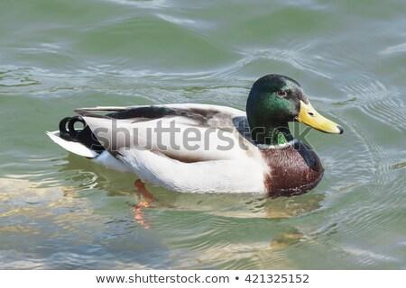 férfi · kacsa · úszik · tó · gyönyörű · felület - stock fotó © michaklootwijk