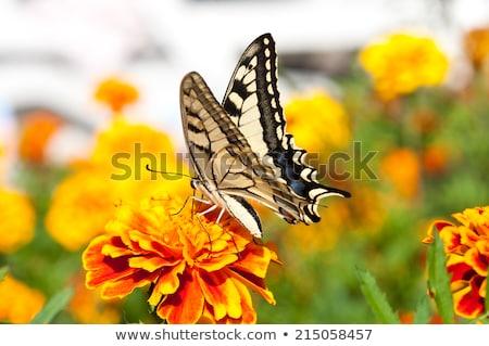 Zebra Swallowtail Butterfly Close Up Stock photo © billperry