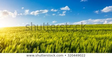Panoráma kukoricamező nyár kicsi város kék Stock fotó © ondrej83