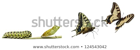 Machaon butterfly's caterpillar Stock photo © smithore