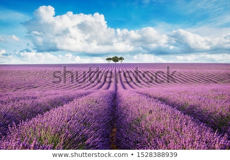 lavender field and cloudy sky stock photo © vwalakte