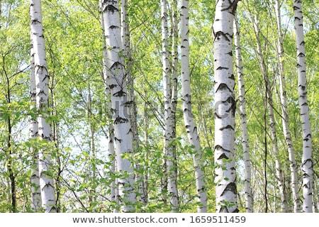 Huş ağacı kapalı ağaçlar kış manzara gökyüzü Stok fotoğraf © RuslanOmega
