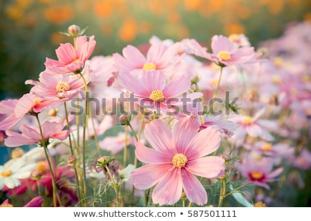 beautiful cosmos flowers stock photo © ptichka