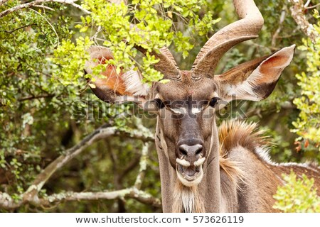 Female Kudu in the Kruger National Park, South Africa. Stock photo © simoneeman