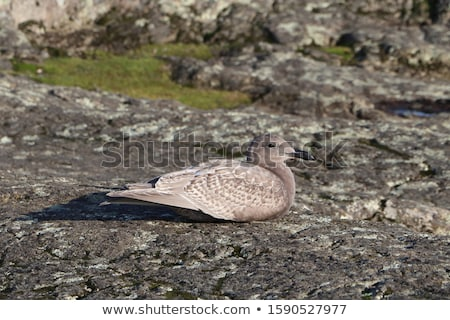 Western Gull (Larus occidentalis) Stock photo © dirkr