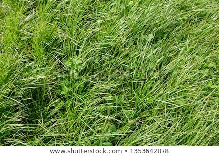 verde · fresco · trevo · campo · dia · férias - foto stock © simply