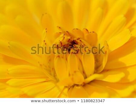 Amarelo pétalas vermelho dicas macro abertura Foto stock © sarahdoow