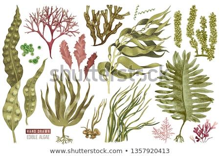 Kelp Plant Isolated on White Vector Illustration Stock photo © robuart