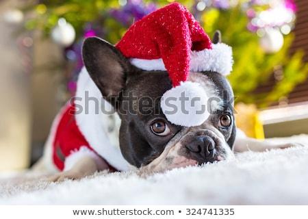 adorable black santa french bulldog sitting Stock photo © feedough