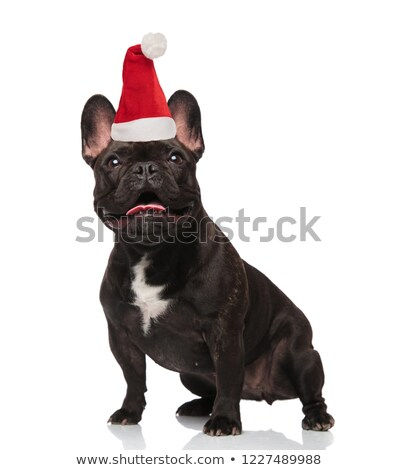 surprised santa french bulldog with tongue exposed looks up Stock photo © feedough