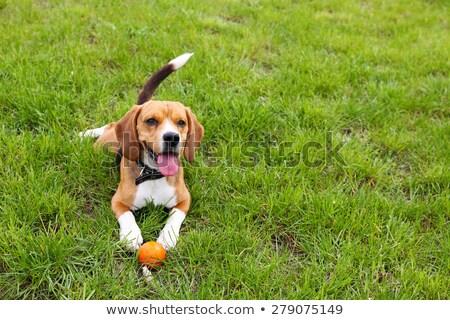 Encantador cão parque amarelo olho Foto stock © acidgrey