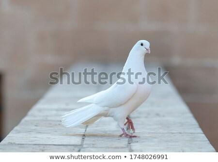 Onwijs Witte · duif · symbool · vrede · geloof · hoop - vector MN-16