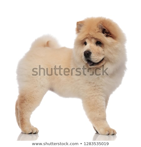side view of cute panting chow chow looking back Stock photo © feedough