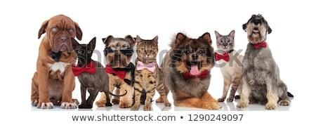チーム 7 愛らしい ペット 着用 サングラス ストックフォト © feedough