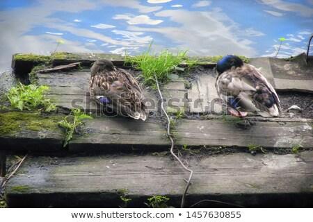 River scene with duck hatching egg Stock photo © colematt
