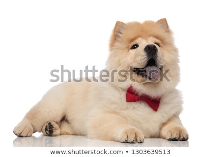 happy chow chow with bowtie panting while resting Stock photo © feedough