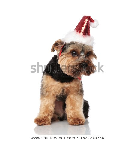 adorable santa yorkshire terrier sitting and looking down to sid Stock photo © feedough