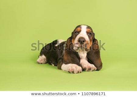Stock photo: Studio shot of an adorable Basset hound