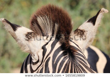 Zebra kulak doğa arka plan Afrika siyah Stok fotoğraf © Bananna