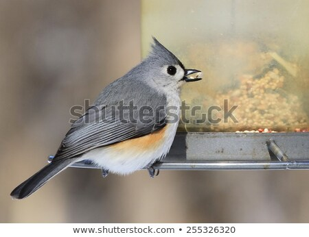 Tufted Titmouse on feeder Stock photo © backyardproductions