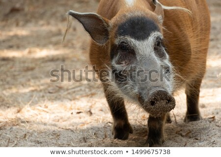Red River Hog Stock photo © chris2766