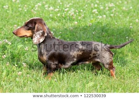 тигр лет луговой собака трава саду Сток-фото © CaptureLight