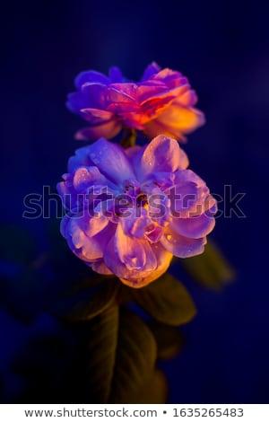 Heester 14 voorjaar home blad Stockfoto © LianeM