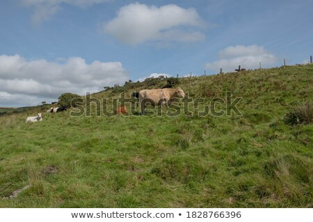 cattle on a sunny hillside Stock photo © marcopolo9442