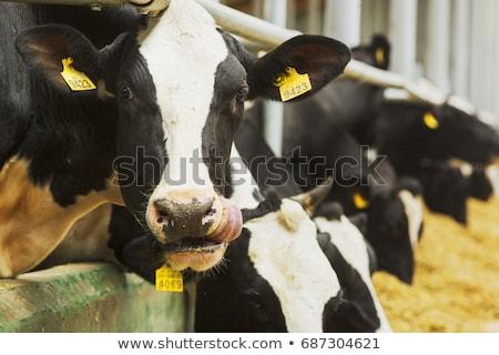 vacche · guardando · cielo · natura · mucca - foto d'archivio © rhamm