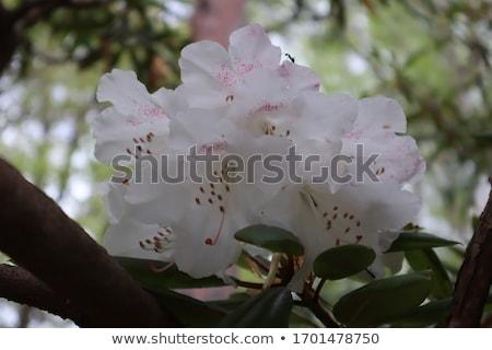 Rhododendron 12 Stock photo © LianeM