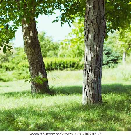 Green field with two oak trees on a bright fall day Stock photo © sarahdoow