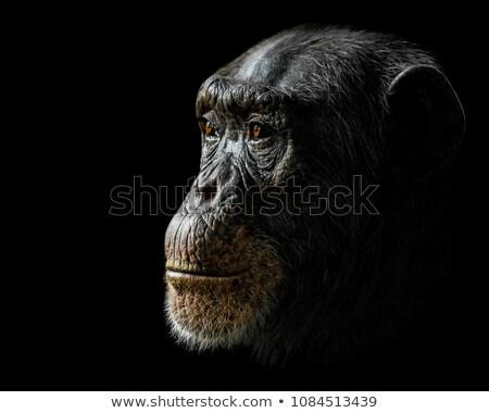 черный шимпанзе утра солнечный свет природы Сток-фото © saddako2