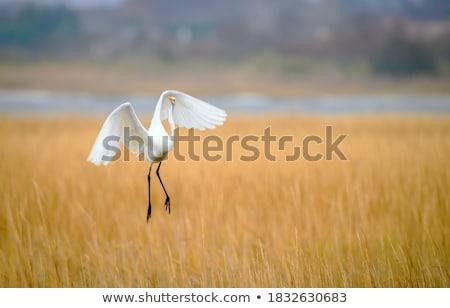 Great White Egret flying away Stock photo © suerob