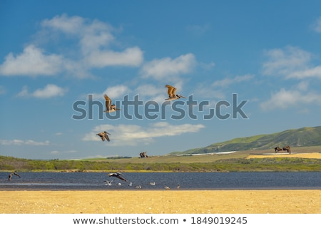flock of pelicans in the air Stock photo © meinzahn