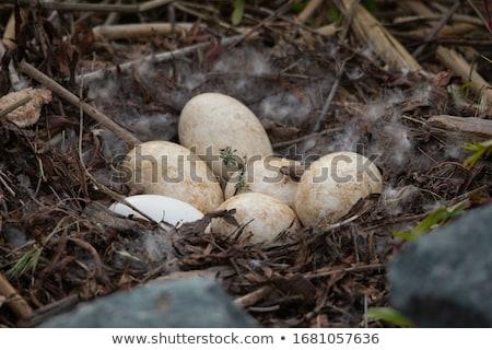 Сток-фото: Канада · гусь · гнезда · сидят · пруд · рано