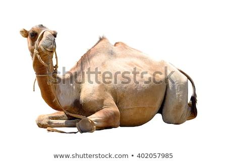 Egyedül teve ül zöld fű sivatag zöld Stock fotó © Witthaya