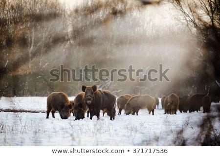 Inverno javali preto e branco ilustração arte nosso Foto stock © lineartestpilot
