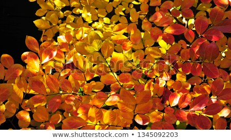 Backlit reddish hazel leaf Stock photo © olandsfokus