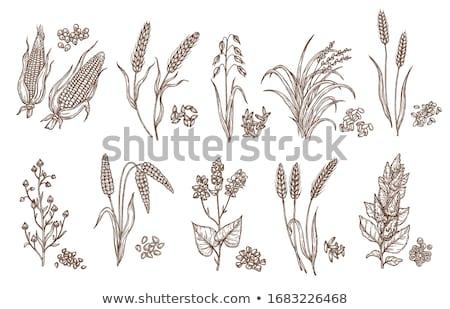 Spelt wheat crops Stock photo © stevanovicigor