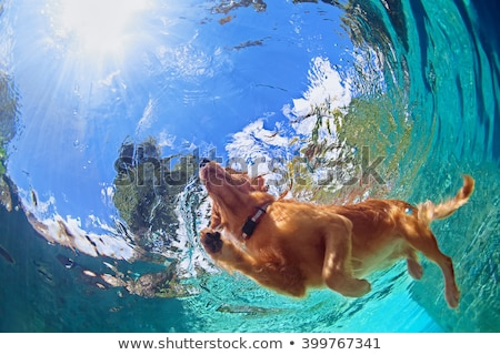 Happy dog Golden Retriever jumps Stock photo © goroshnikova