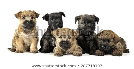 group of puppy cairn terrier's are on white Stock photo © vauvau